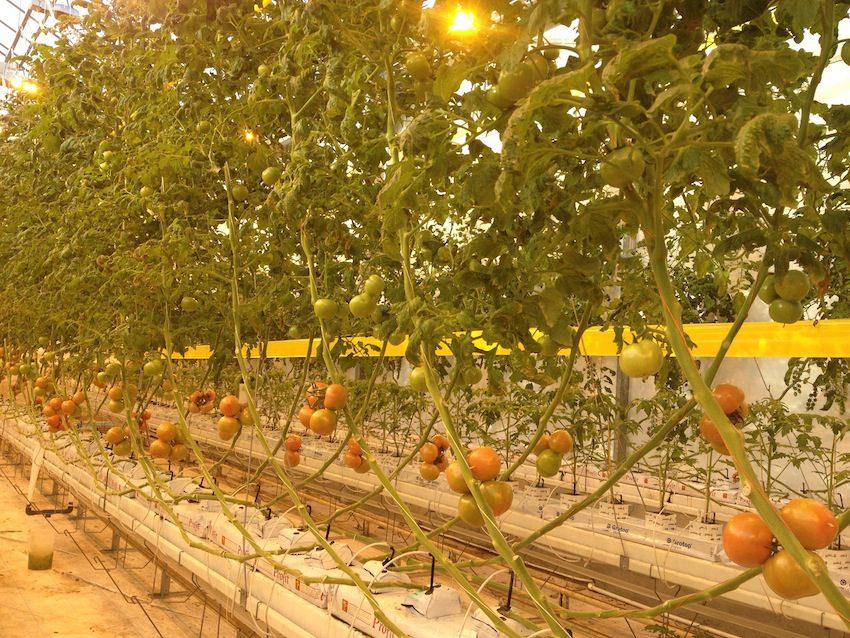 tomatoes.850